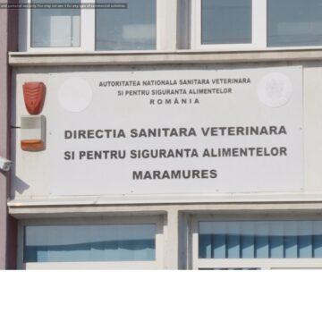 VIDEO   24 de focare de pestă porcină africană sunt active în prezent în județul Maramureș