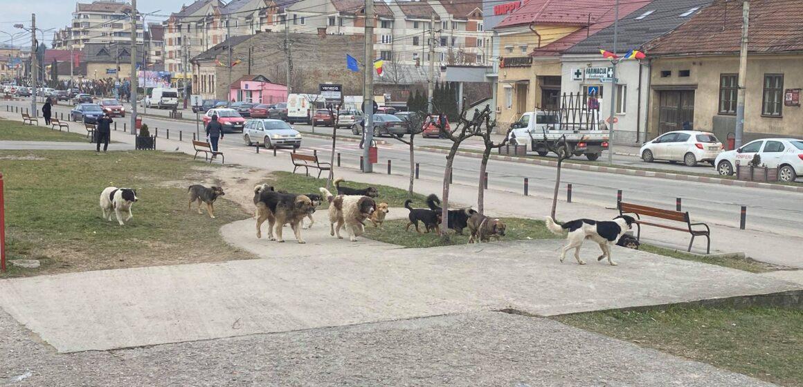VIDEO | FOTO  DE LA CETĂȚENI | Au reapărut haitele de câini fără stăpân pe străzile din Sighetu Marmației