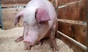 VIDEO | Focar de pestă porcină africană confirmat la Seini