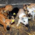 VIDEO | A fost aprobat ajutorul de minimis pentru susţinerea crescătorilor de porci de reproducţie din rasele Bazna şi Mangaliţa pentru perioada 2020-2022