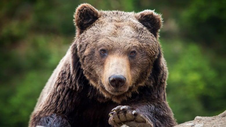 VIDEO | JANDARMERIA MARAMUREȘ: Recomandări care să ajute în situația întâlnirii cu ursul