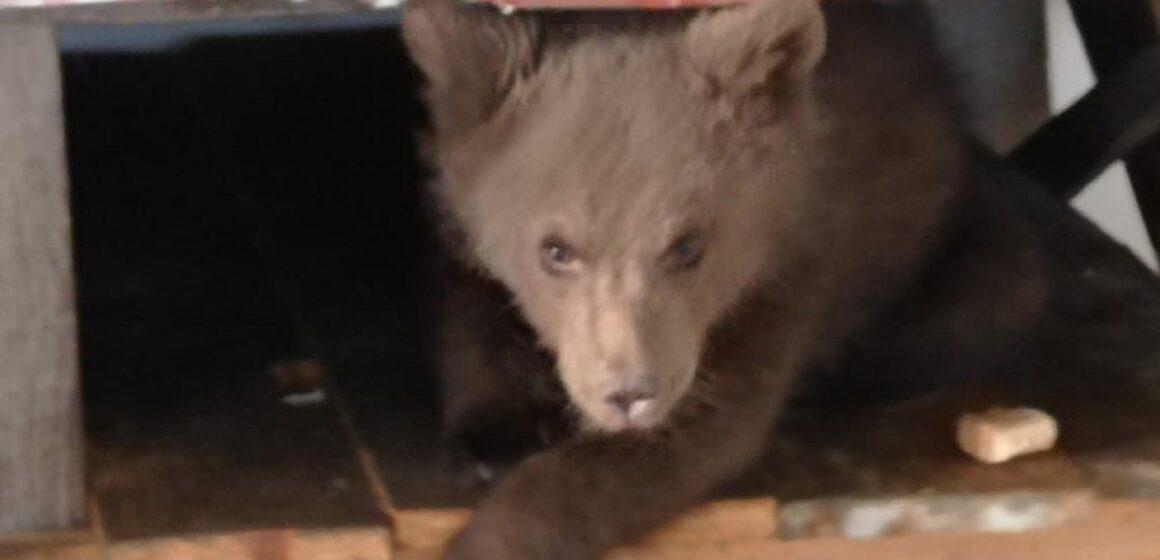 VIDEO | Pui de urs, ținut ilegal în captivitate, recuperat de oamenii legii