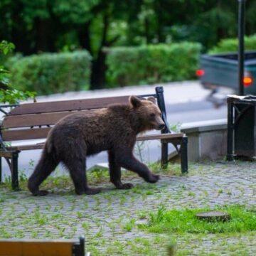 PROIECT DE LEGE   Urșii agresivi vor putea fi capturați, relocați, împușcați sau eutanasiați