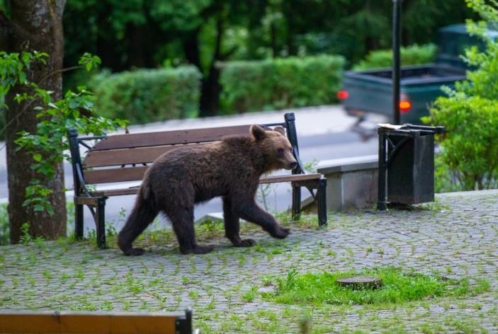 PROIECT DE LEGE | Urșii agresivi vor putea fi capturați, relocați, împușcați sau eutanasiați
