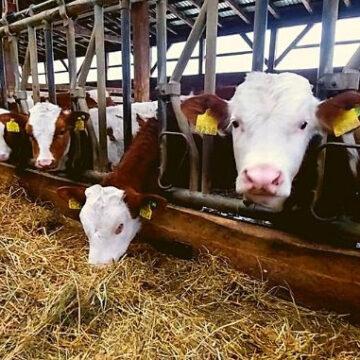 Audio | Maramureș este al doilea județ din țară privind numărul de cereri depuse pe capete de bovine la APIA