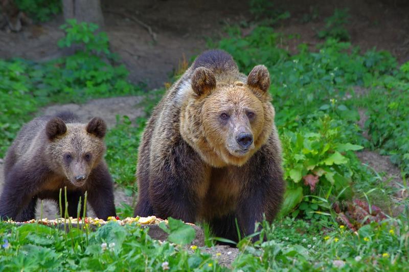 Audio   Creșterea efectivului de urși ridică probleme și în Maramureș