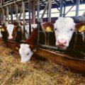 Video | Ajutor pentru crescătorii de bovine